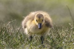 Adorable baby gosling in grass close up royalty free stock photo