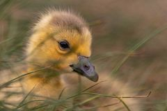 Adorable baby gosling in grass close up stock photo