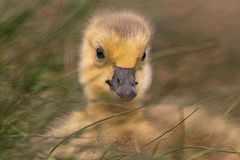 Adorable baby gosling in grass close up stock images
