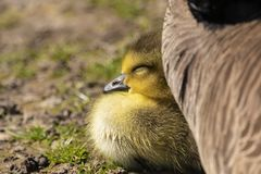Adorable baby gosling in grass sleeping royalty free stock photos