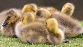 Adorable baby goslings in grass sleeping royalty free stock photo