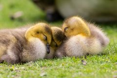 Adorable baby goslings in grass sleeping stock photo