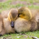 Adorable baby goslings in grass sleeping royalty free stock images