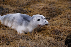 Adorable Baby Harbor Seal on Seaweed. Really cute baby harbor seal on a seaweed covered reef Royalty Free Stock Photo