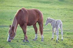 Adorable baby horse with its mother Royalty Free Stock Photography