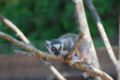 Adorable Baby Lemur Sitting in a Dead Tree. Really cute baby lemur sitting in a dead tree Royalty Free Stock Photo
