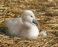 Adorable baby Mute Swan just 3 days old.  Resting on bedding made of straw Royalty Free Stock Images
