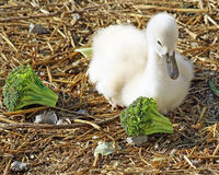 Adorable baby Mute Swan just 3 days old resting on bedding made of straw Stock Photos