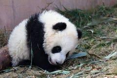 Adorable Baby Pandas 大熊猫 Stock Image