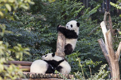 Adorable Baby Pandas Stock Images