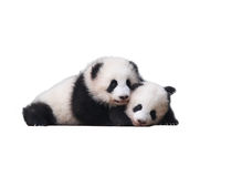 Adorable Baby Pandas 熊猫 Stock Images