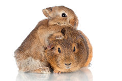 Adorable baby rabbit hugging guinea pig Stock Image