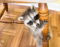A baby raccoon clinging to a chair leg. An adorable baby raccoon climbing up a wooden chair leg. The camera angle is downward and the floor in the background is royalty free stock images