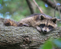 Adorable Baby Raccoon Stock Images