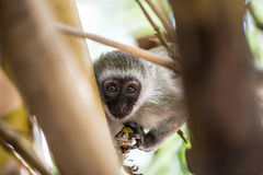 Adorable baby vervet monkey playing on a tree in the Amboseli national park (Kenya) Stock Photos