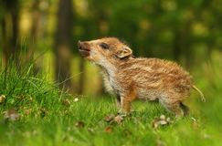 Adorable baby wild boar Royalty Free Stock Photo