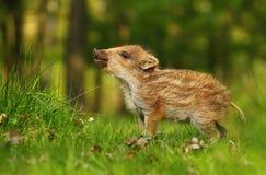 Adorable baby wild boar Royalty Free Stock Photo