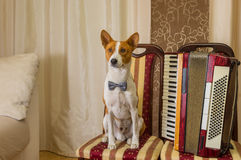 Adorable basenji dog wearing bow tie sitting on a chair next to an accordion Royalty Free Stock Photo