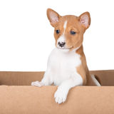 Adorable basenji puppy Royalty Free Stock Photography