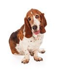 Adorable Basset Hound Dog Sitting With Tongue Out Stock Image