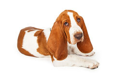 Adorable Basset Hound Puppy Laying At An Angle Royalty Free Stock Image