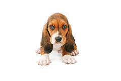 Adorable Basset Puppy Dog. A cute little young Basset Hound breed puppy dog sitting and looking forward Stock Photo