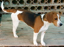 Adorable beagle Royalty Free Stock Photo