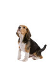 Adorable beagle. Cute young beagle looking attentive with one leg up Royalty Free Stock Photo