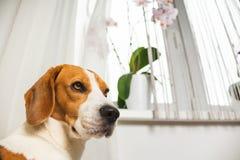 Adorable beagle dog against window stock images