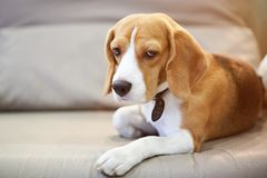 Adorable beagle dog laying on bed. And looking in camera Royalty Free Stock Images