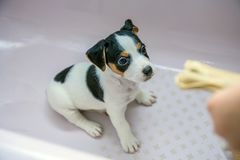 Adorable beagle puppy in the foreground stock images