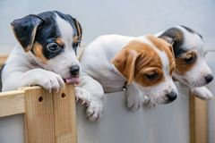 Adorable beagle puppy in the foreground royalty free stock photo