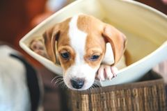 Adorable beagle puppy in the foreground royalty free stock images