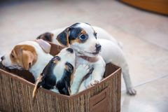 Adorable beagle puppy in the foreground royalty free stock image