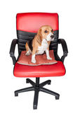 Adorable beagle sit still on red chair Royalty Free Stock Images
