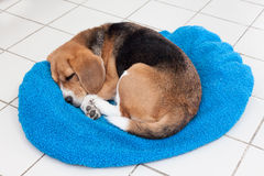 Adorable beagle sleeping on blue cushion Royalty Free Stock Images