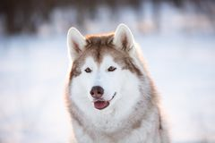 Adorable, Beautiful and happy Siberian Husky dog sitting on the snow in the winter forest. Close-up Portrait of gorgeous, happy and free Siberian Husky dog stock photos