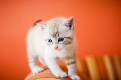 Adorable and beautiful little white kitty cat Royalty Free Stock Image