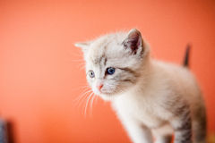 Adorable and beautiful little white kitty cat Royalty Free Stock Photo