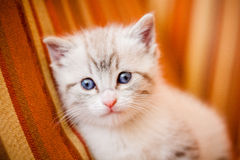 Adorable and beautiful little white kitty cat watching at the ca Stock Photos