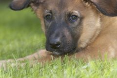Adorable Belgian Shepherd. Belgian Shepherd is resting in the grass. Please comment after download Stock Image
