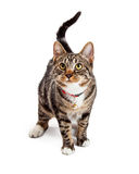 Adorable Bengal Cat With Attentive Expression Stock Photo