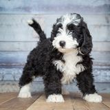 Adorable Bernedoddle Puppy stock photo