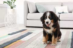 Adorable Bernese Mountain Dog puppy. On carpet indoors stock photo