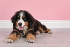 Adorable Bernese Mountain Dog puppy. Near color wall indoors stock photo