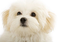Adorable bichon frise. Puppy, closeup picture, over white Royalty Free Stock Photo