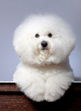 Adorable bichon frise Stock Photo