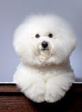 Adorable bichon frise Stock Photo
