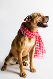 Adorable Big Dog With a Scarf. Adorable brown dog with her prettiest scarf on Royalty Free Stock Images
