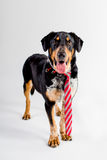 Adorable Big Dog With a Tie. Adorable black and brown dog with his best classy tie on Royalty Free Stock Photo
